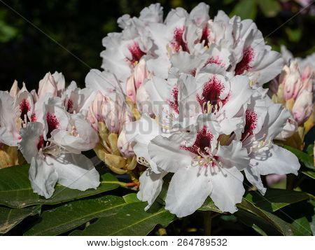 Rhododendron Hybrid Picobelo (rhododendron Hybrid), Close Up Of The Flower Head