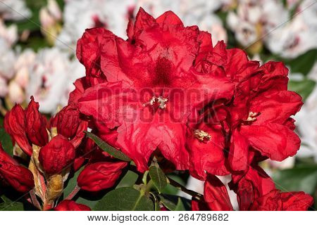 Rhododendron Hybrid Rabatz (rhododendron Hybrid), Flower Of Springtime