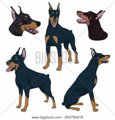 Dobermann In Different Poses. Watchdog Hand Drawn Illustration. Doberman Pinscher Set Isolated On Wh