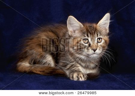 Multicolored  Maine Cat on color background poster