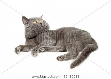 Multicolored  kitten on white background -   British Short-hair blue cat poster