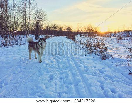 Alaskan Malamute Dog Standing On A Snow Field.