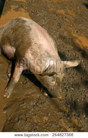 A Hog Wallowing In Wet Mud Struggles To Arise From The Quagmire