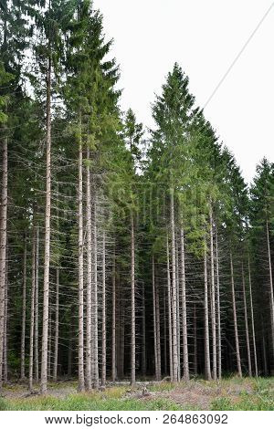 Beautiful Tall Trees In A Coniferous Forest