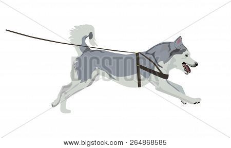 Husky Dog Running On A Leash. Harnessed Alaskan Malamute Isolated On White Background.
