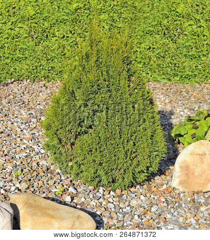 Juniper Is An Attractive Coniferous Evergreen Cone-shaped Decorative Plant For Garden Or Park Decora