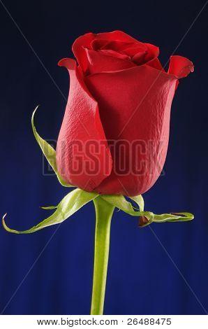 Detail of red rose bud over dark blue background
