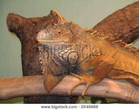 Lizard On The Tree