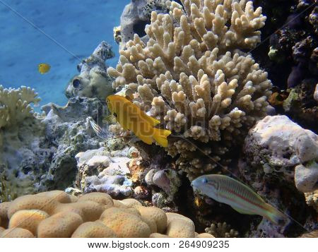 Sea goldie Fish  is a small species of colorful fish in the subfamily Anthiinae. poster