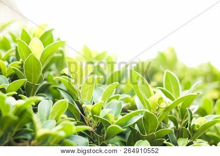 Green Leaf Nature For Natural Or Environment Background Or Texture.