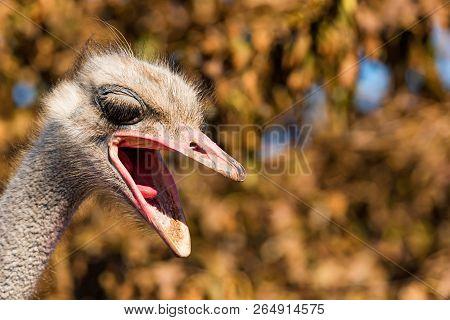 Portrait Of Angry Emu Or Dromaius Novaehollandiae Head Close