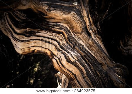 Ancient Bristlecone Pine Tree - These Old Trees Have Twisted And Gnarled Features. California - Whit