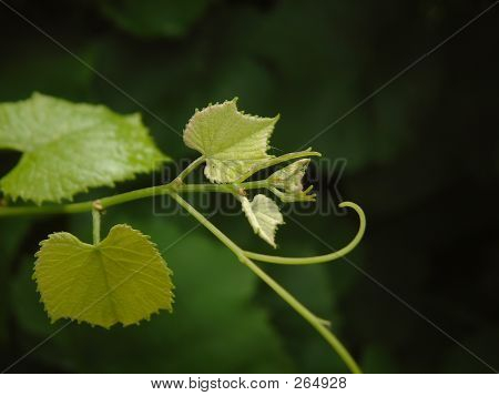 Branch Of Vine