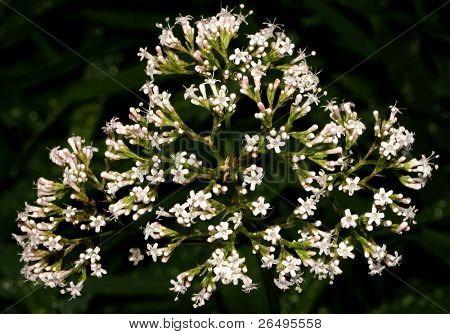 The Valerian plant, a calming natural drug. Modern day equivalent is the drug Valium. poster