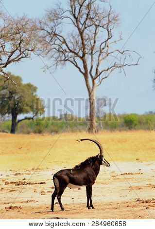 Buck Sable Antelope - Hippotragus Niger -  Standing On The Yellow Dry Makololo Plains In Hwange Nati