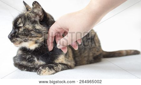 Nonchalant Senior Tortoiseshell Cat Being Petted By Female Hand. Woman Petting Disinterested Cat Loo