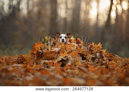 The Dog Hid In The Yellow Leaves. Jack Russell Terrier At Nature In The Fall. Pet Walk In Autumn