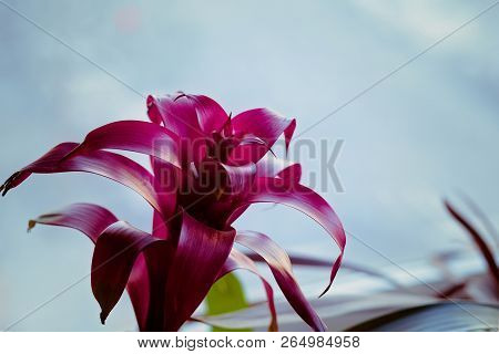 Tropical Magenta Bromeliad Plant, With A Light Blue Background