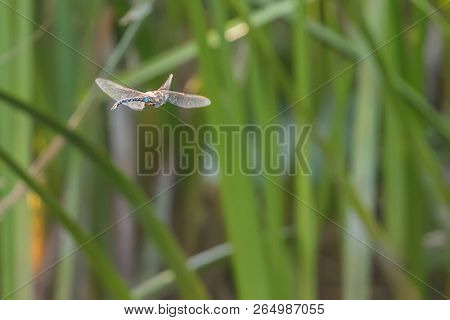 Blue Emperor Dragonfly hovering in flight (Anax imperator) poster