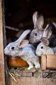 Rabbits eating grass inside a wooden hutch (European Rabbit - Oryctolagus cuniculus) poster