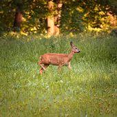 Roe doe deer standing in free nature poster