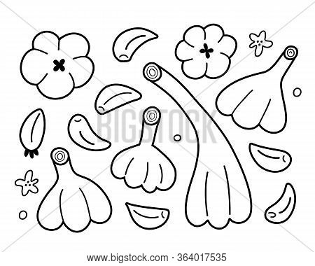 Garlic Outline Set, Vector Illustration Of Garlic Bulbs And Cloves Isolated On White Background, Lin