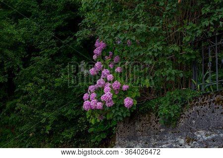 Blooming Violet, Purple Hydrangea Hydrangea Macrophylla In A Garden. Hydrangea Bush. Floral Backgrou