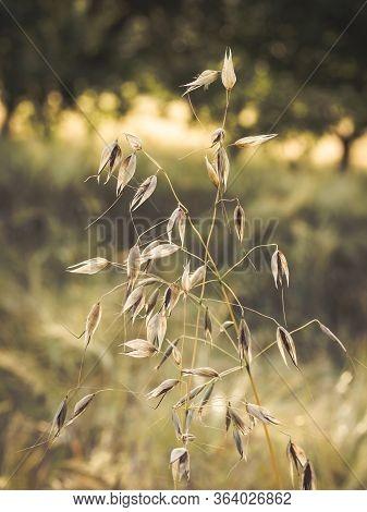 Wild Oat (avena Fatua ) Close Up Of Plant Growing In Field
