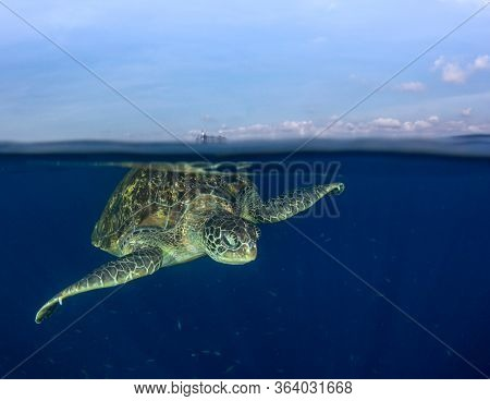 Green Sea Turtle rises to the surface to breathe. Half and half over under split photo