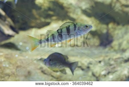 Perca Fluviatilis, Commonly Known As Common Perch Or European Perch. A Pumpkinseed In The Background