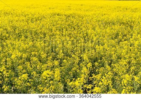 Background Made Of Ripening Rape In The Field On A Beautiful Sunny Day, Natural Light.