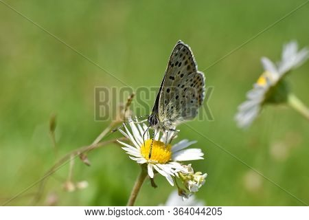 Sooty Copper Butterfly On Flower. Small Blue Butterfly, Lycaena Tityrus, On Meadow