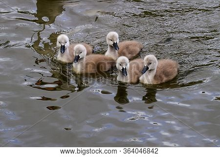 Photo Of Five Cute Mute Swan Signets On The Water