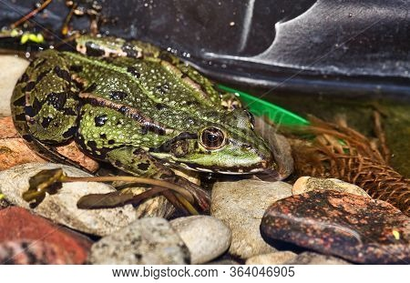 The Marsh Frog (pelophylax Ridibundus)