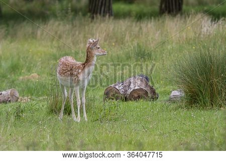 Photo Of An Alert Fallow Deer Looking At Something