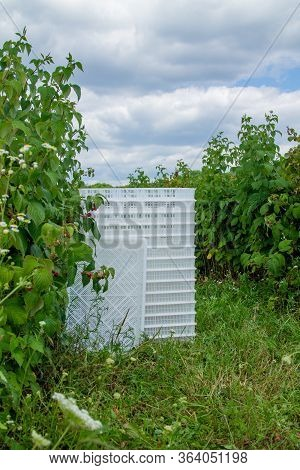 Plastic White Boxes For Harvesting Berries. Harvesting. Field With Ripe Raspberry Bushes