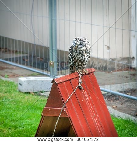 Tame Owl Sits On Its House, A Tamed Bird, The Maintenance Of Owls In Captivity