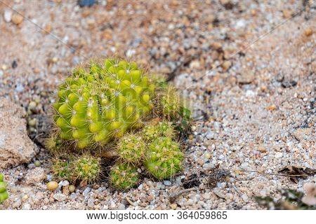 Gymnocalycium Pflanzii Var. Albipulpa Cactus In The Natural Desert.