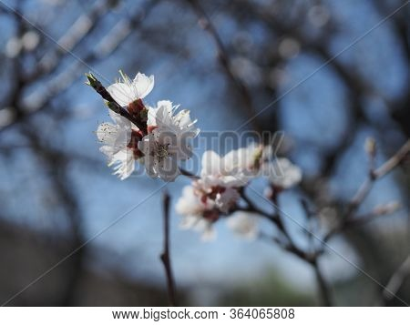Close Up Of Apricot Blossoming Branch On Light Background
