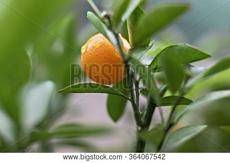 Ripe Juicy Sweet Tangerines On A Tree In A Tangerine Garden. Selective Focus.