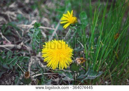 Dandelion Flower (taraxacum Officinale) In Nature. Healthy Herb Plant