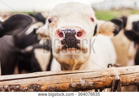 Head Of A Bull Close-up Growing Bull-calves Into Slaughter. A Cow On The Pasture. The Head Of A Cow
