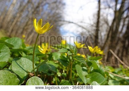 Forest Herbs. Yellow Forest Flowers In Green Young Grass.
