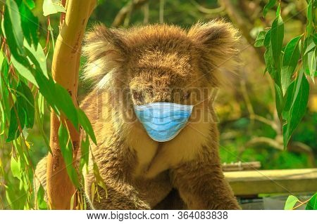Covid-19 Infections In Animals. Koala Bear With Surgical Face Mask In Eucalyptus Forest At Phillip I