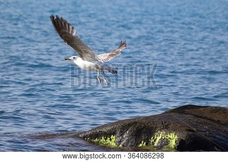 A Seagull Is Flying Over The Black Sea