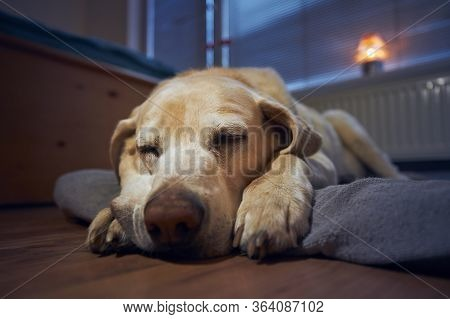Old Dog (labrador Retriever) Sleeping On His Pet Bed Under Window At Home.