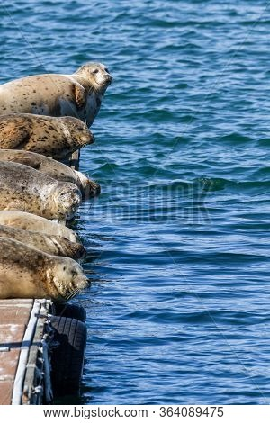Earless Seals In Gold Beach, Oregon