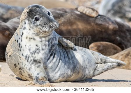 Seal Portrait. Cute Animal Portrait Of Spotty Fur Grey Seal From The Horsey Colony Norfolk Uk. Beaut