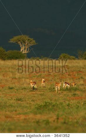 Grant'S Gazelle Landscape