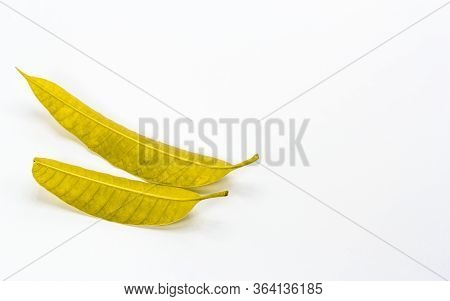 The Yellow Leaves Isolated On White Background.